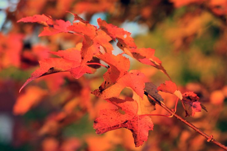 One of the most enjoyable aspects of fall is the vivid colours that the maples turn as the temperature lowers. The reds, in particular, are striking.