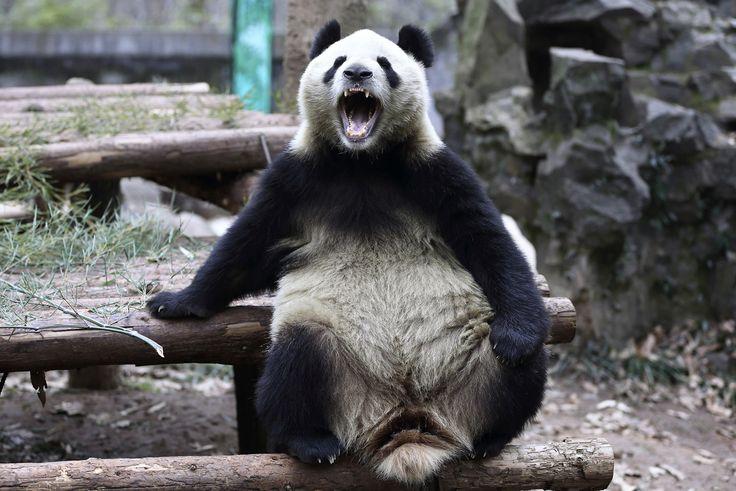 A giant panda in a zoo in Hangzhou, Zhejiang province, China, on January 15, 2015
