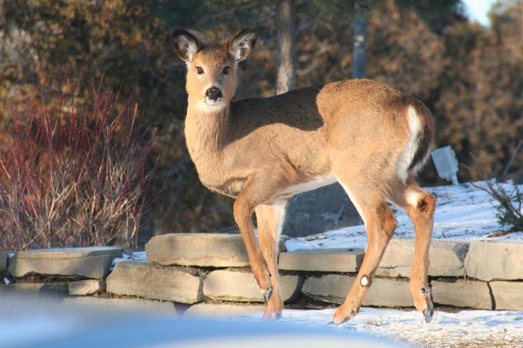 Cottage wildlife - White Tailed Deer