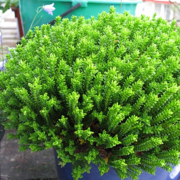 Hebe+Emerald+Green+-+Véronique+arbustive