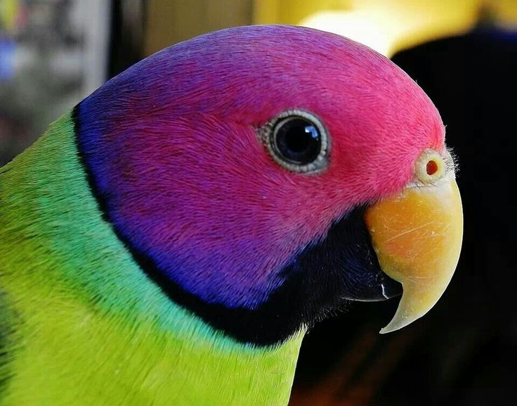 Plum Headed Parakeet Thought To Be A Hybrid And Not A
