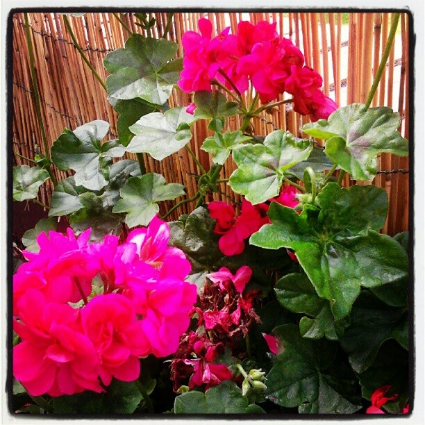 Flowers on my terrace revived