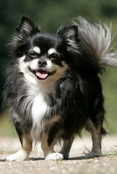 Long Hair Chihuahua..This looks like Asher, only he was mixed with spaniel and had floppy ears. Miss you both.