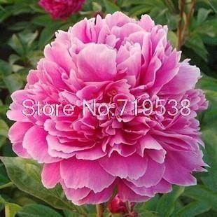 [Си Ся Ин-день] Пион цветы декоративные цветы в горшках 10 семена