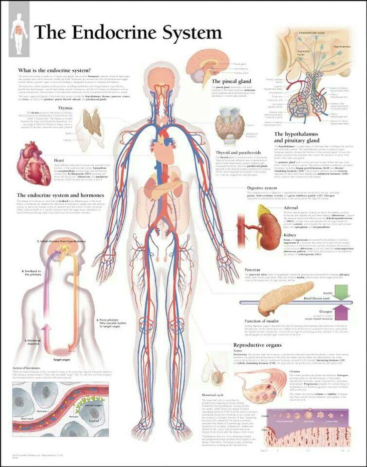 112 besten Anatomy & physiology Bilder auf Pinterest ...
