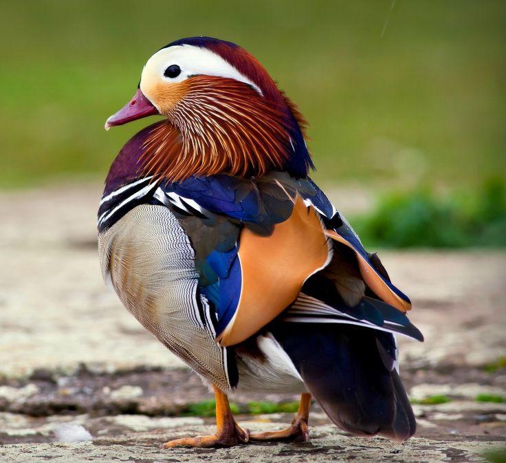El pato mandarín (Aix galericulata) es una especie de ave anseriforme de vivos colores de la familia Anatidae oriunda de China, Japón y Siberia que ha sido introducida en diversos puntos de Europa y que es muy apreciada por su belleza, por lo que se la tiene en numerosos parques de todo el mundo.