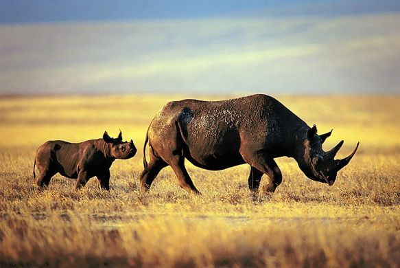 Two Endangered Black Rhinos Just Became Hunting Trophies, Thanks to the U.S. Government | TakePart