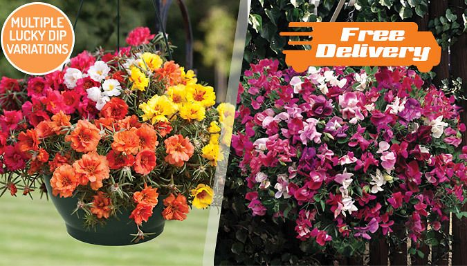 Buy Summer Hanging Baskets Lucky Dip - Free Delivery! UK deal for just: £19.99 Bring beauty and vibrancy to your garden with these Summer Hanging Baskets Lucky Dip      Glorious selection of plants producing an assortment of colourful flowers      Plants are selected by experts at Jersey Plants Direct      Basket trails grow to 80-90cm, with spreads of 10-15cm      Flowering period extends...