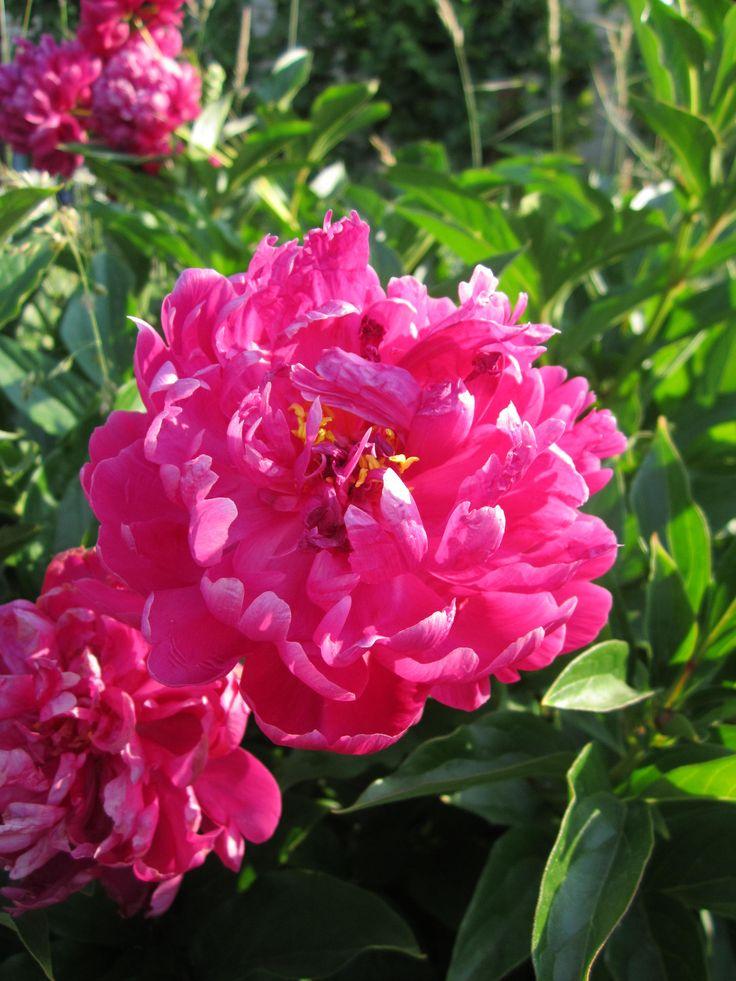 Пионы — излюбленные садовые цветы, и это не удивительно. Пышное и яркое цветение длится обычно две-три недели, но у разных сортов наступает в разное время. Поэтому цветение хорошо подобранной коллекции может продолжаться до трех месяцев. Начиная с первых чисел мая и заканчивая последней декадой июля ваш сад будет наполнен яркими красками и дивным ароматом.