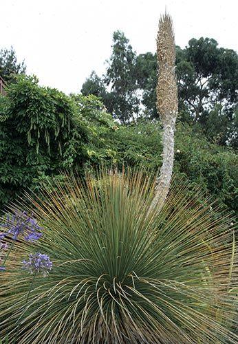 Photo #18525 | Dasylirion longissimum | plant lust