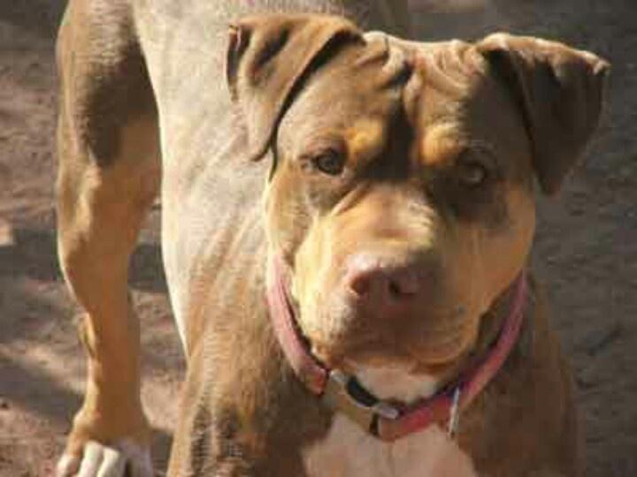 Pitbull mastiff mix | Dogs | Pinterest | Mastiff mix and ...