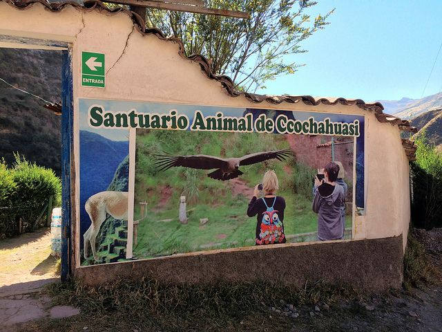 On our way to explore ruins and terraces in the Sacred Valley of the Incas, we stopped at Ccochahuasi Animal Sanctuary. This shelter rescues and rehabilitates Andean animals (some endangered) that have been abused or injured; those that can be, are eventually returned to the wild. The sanctuary also has an Andean Condor breeding program to help repopulate the mountains with these magnificent creatures. A definite highlight of our visit was seeing condors in flight.