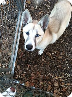 Husky/Akita Mix Dog for adption in Roswell | Dog ...