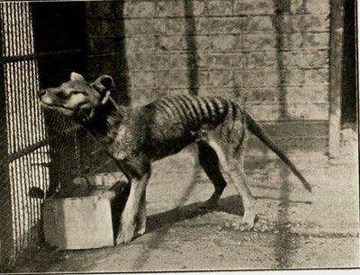 Very rare photograph of London Zoo's last Thylacine (Tasmanian Tiger), circa…
