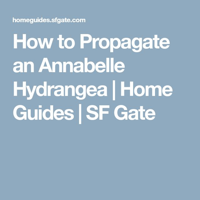 How to Propagate an Annabelle Hydrangea | Home Guides | SF Gate