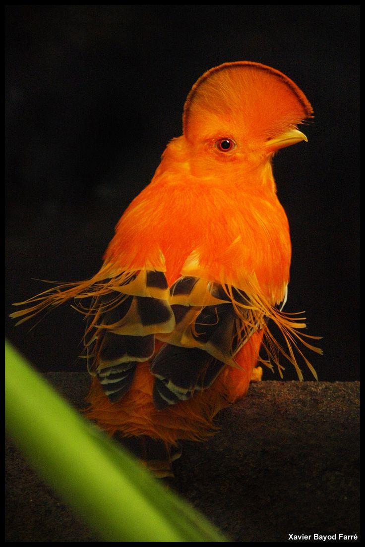 Guianan Cock-of-the-rock (Rupicola rupicola) | BIRDS ...