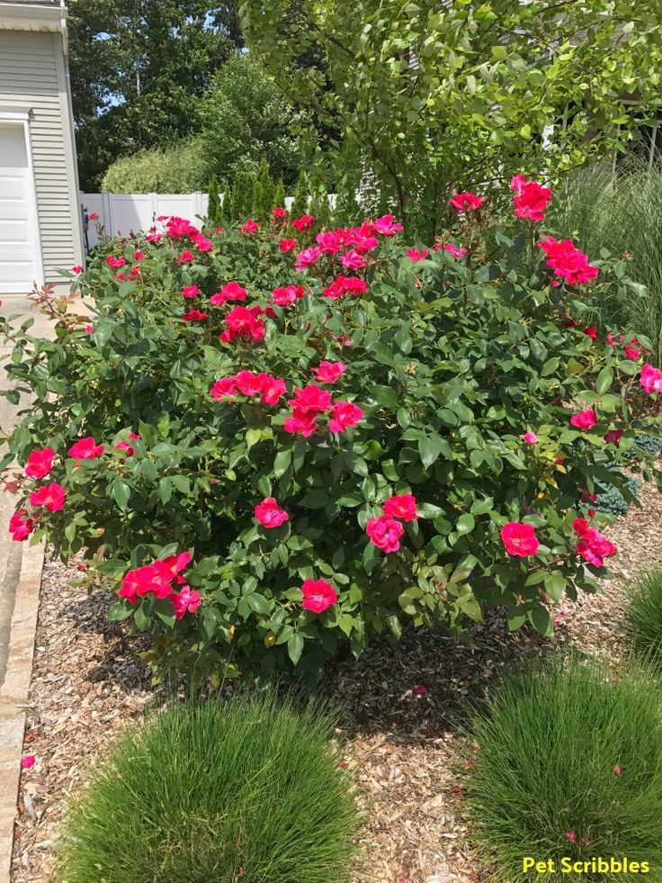 Should You Deadhead Knockout Roses Pet Scribbles Knockout Roses Knockout Roses Care Pruning Knockout Roses