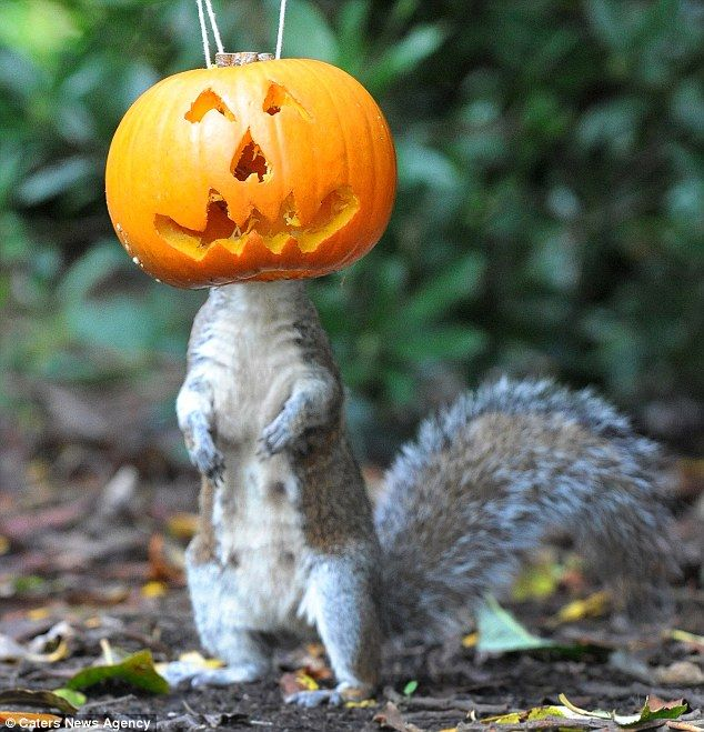 The squirrel wears the Halloween pumpkin like a mask in our own West Park, Wolverhampton.