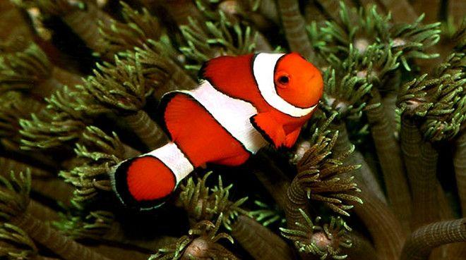 Buy Ocellaris Clownfish Online | Saltwater Aquarium Fish and Coral | Vivid Aquariums