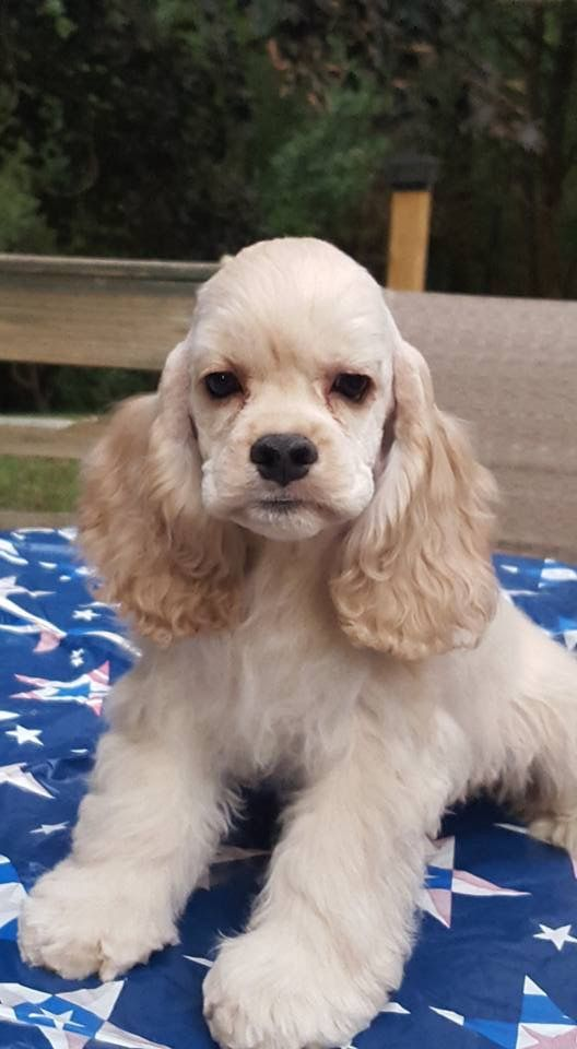 American Cocker Spaniel Pup ~ Classic Cocker Look & Trim