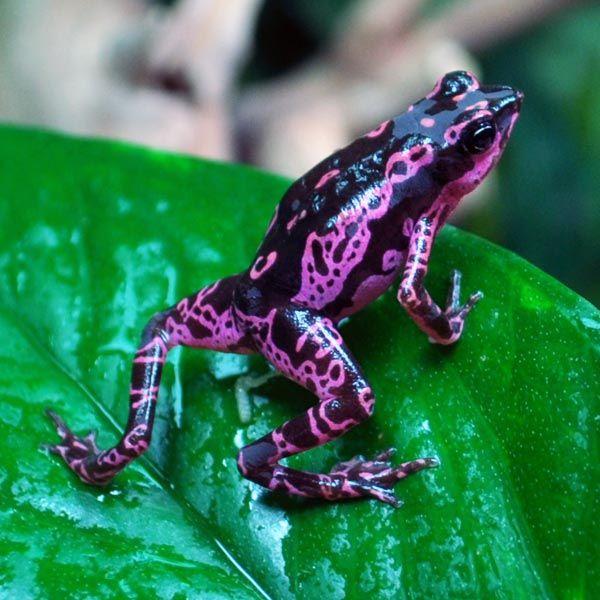 Purple harlequin Atelopus...my favorite color!!