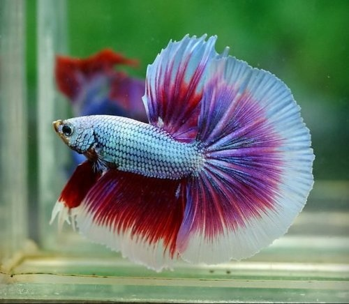 13 best images about guppies and betas on pinterest for Keeping betta fish