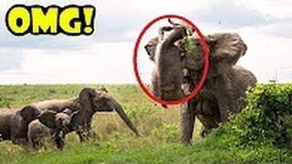 Elephant Kills Buffalo  Lion vs Elephant vs Crocodile vs Buffalo  CRAZIEST Animals Fight