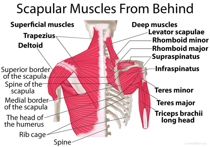 Shoulder blade (scapular) muscles: origin, insertion, function