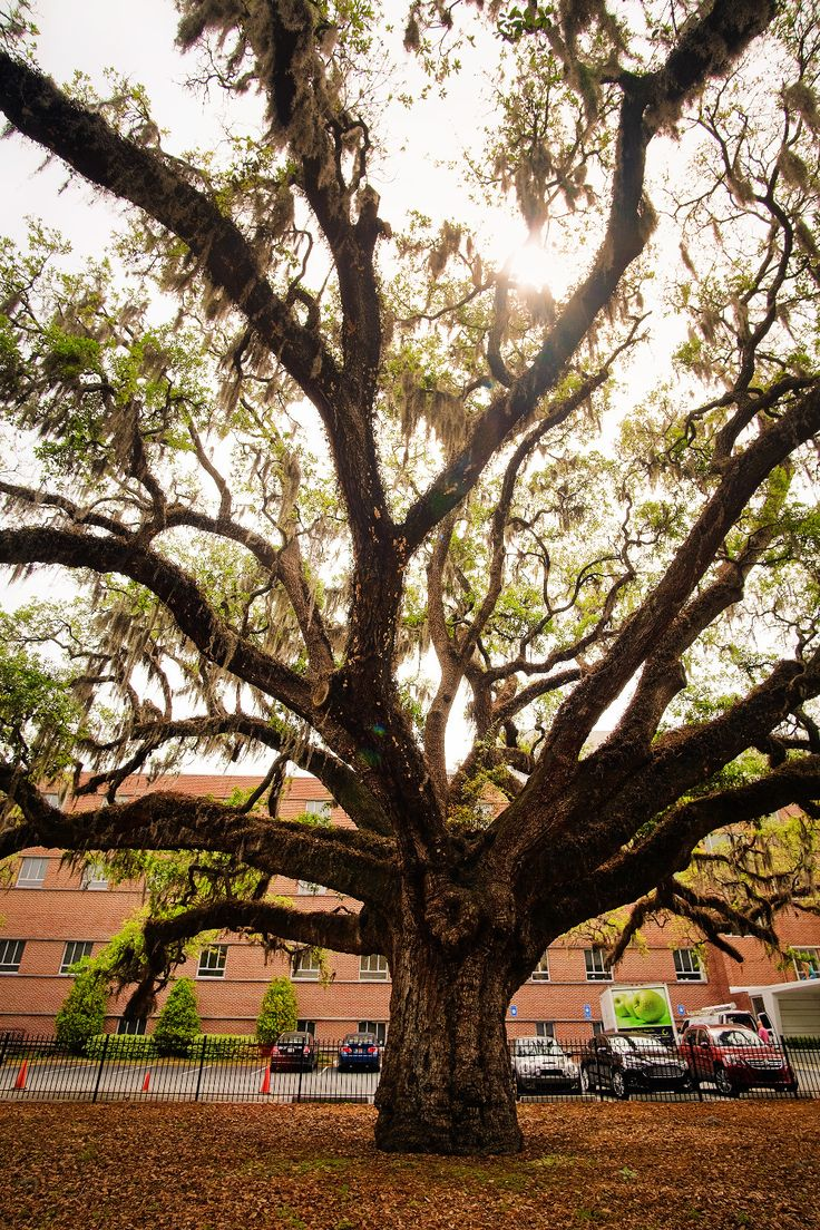 Oldest tree in Savannah.