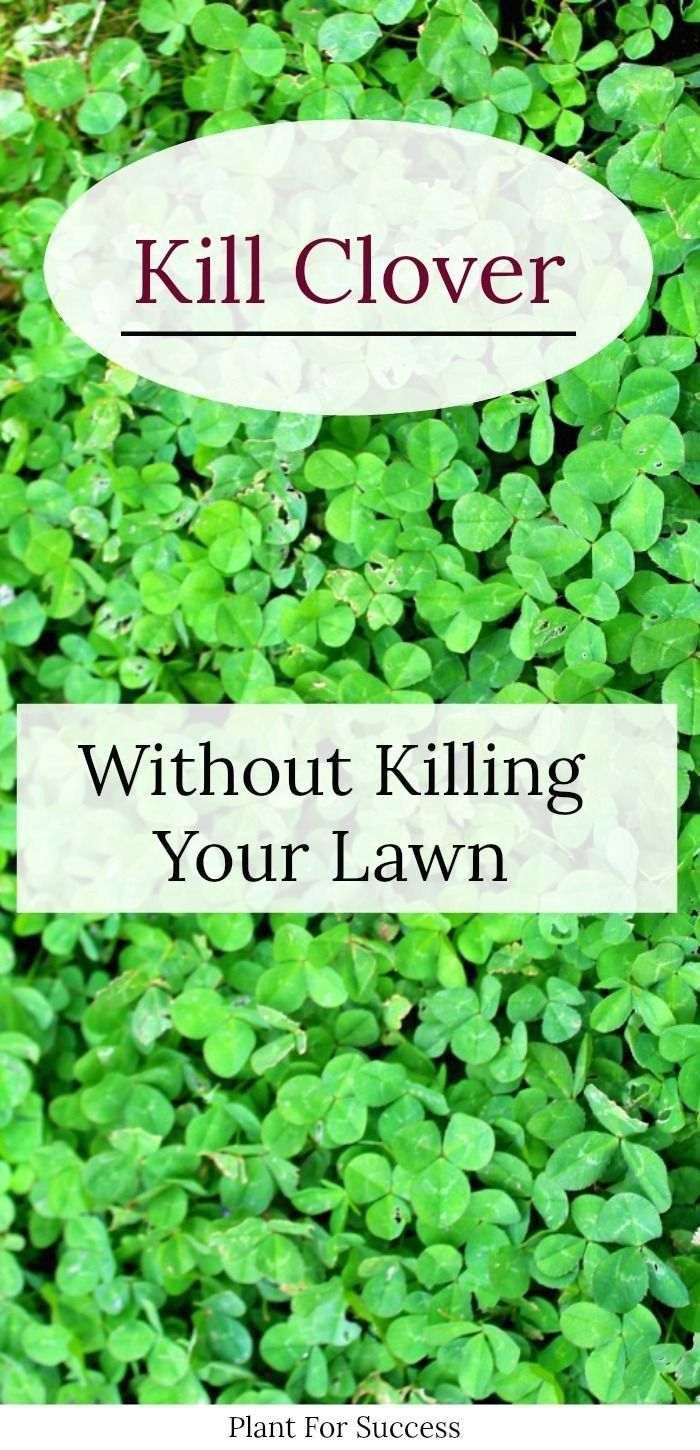 How To Get Rid Of Clover Naturally In 2020 Organic Lawn Care Organic Lawn Lawn Care