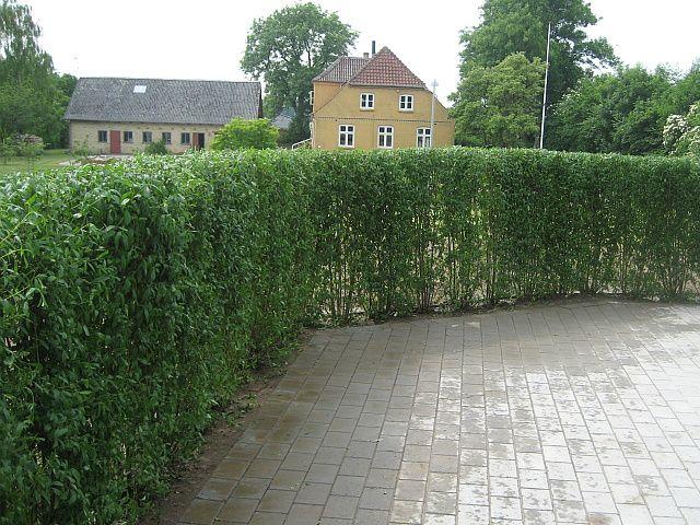 Hekkplanter.com - Liguster 150 cm (60 - 99 planter) 500,00 NOK