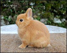 Conejo holandés enano Oryctolagus cuniculus