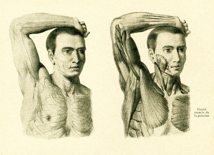 1908 Anatomie Muscles du bras , Homme, Planche originale Anatomie Humaine de la boutique sofrenchvintage sur Etsy
