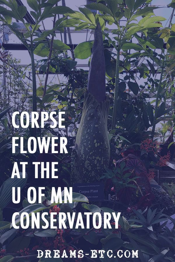 Corpse Flower At The University Of Minnesota Almost In Bloom Travel Obsession Travel Usa University Of Minnesota
