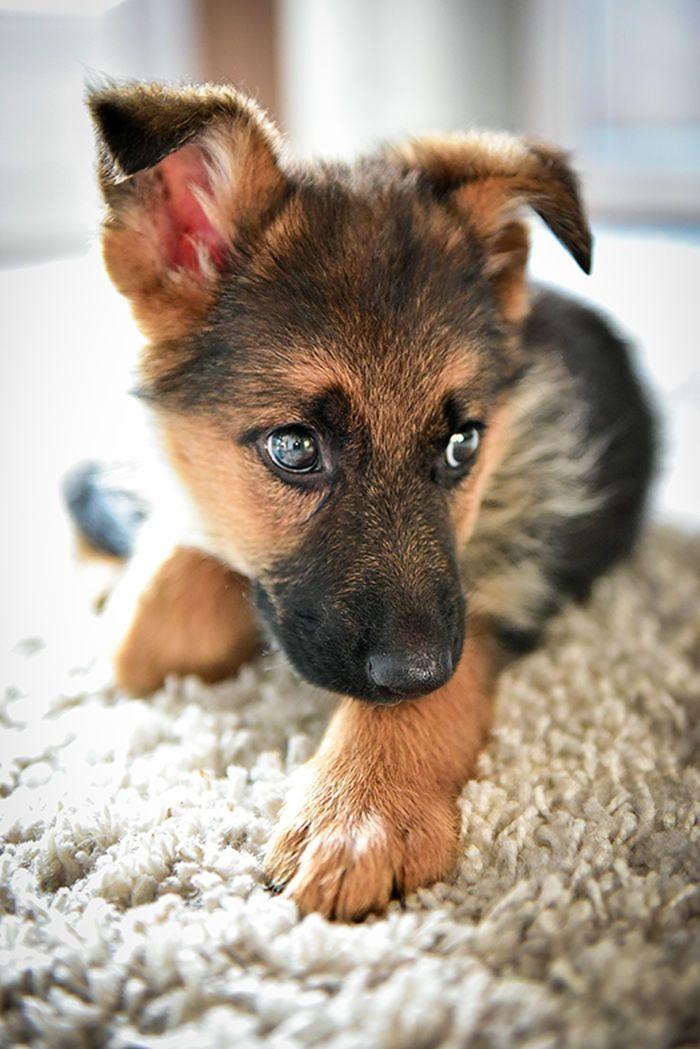 German Shepherd puppy cutie pie