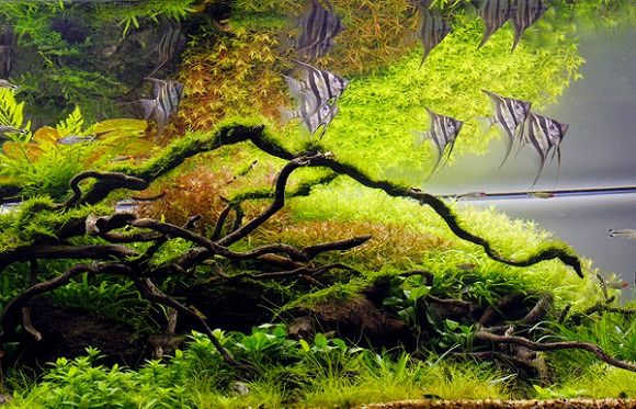 aquarium fish beautiful see grass aquascape