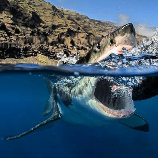 The great white shark! An amazing above and below shot!