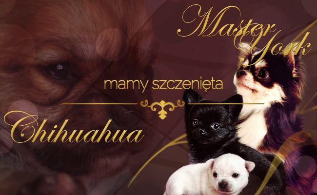 Szczenięta Chihuahua mioty na sprzedaż