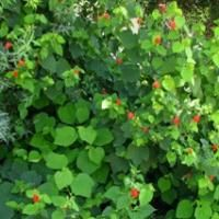 A Great Hummingbird Shrub That Fills Gardens.