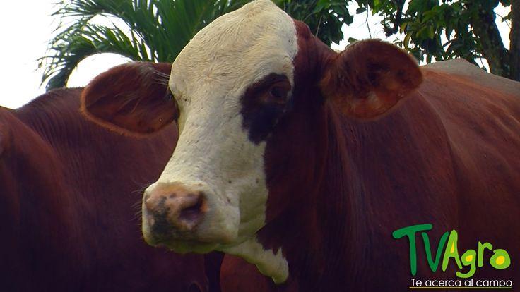 Entre Establos y praderas: Ganado Braford, una alternativa en la producción de carne.