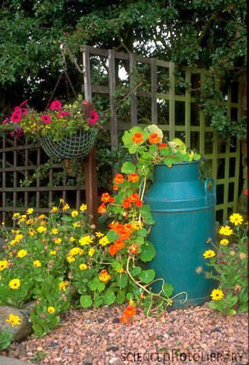 Recycled milk churn used as flower planter with trailing Nasturtiums.