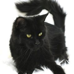 #MaineCoon #Black #Solid #Cats Southmoor's Spitsgatter Hurley