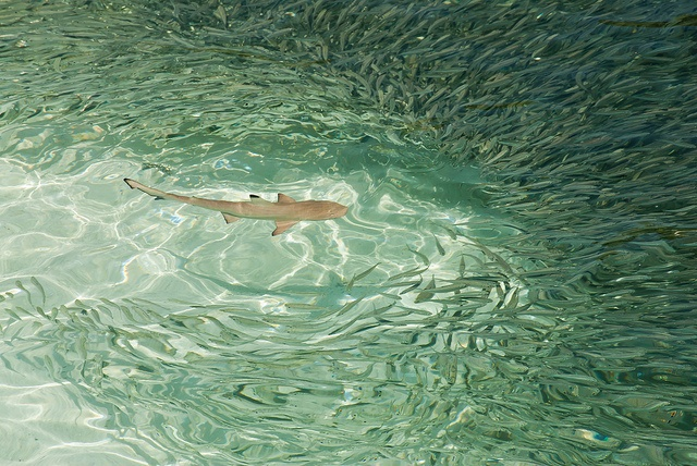 Sharks at Meeru Island Resort, the Maldives, photograph by Karl Robertson