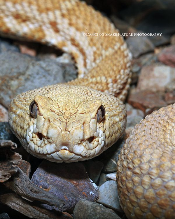 Snakes rattlesnakes unusual color morph for a western for Western diamondback rattlesnake coloring pages