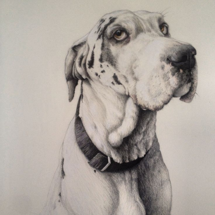 Hounds Of Love -  by Nikki McIvor  Harlequin Great Dane Coloured pen, coloured pencil and acrylic on watercolour paper