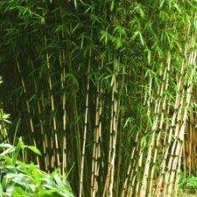 Le Bambou Fargesia robusta Campbell est une excellente variété de bambou non traçant très appréciée par les paysagistes. Le Fargesia robusta Campbell permet en effet de faire de belles haies brise-vue, brise-vent, aussi bien en exposition ombragée qu'ensoleillée. Il a un port dressé et peut atteindre 3 ou 4 m de haut. En exposition ensoleillée, il