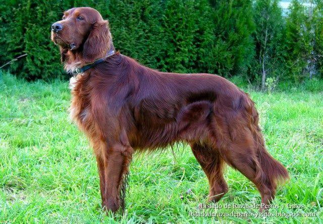 Listado de Razas de Perros y Gatos. Todos los tipos...: Raza de Perro Setter Irlandes Rojo (Setter Irlande...