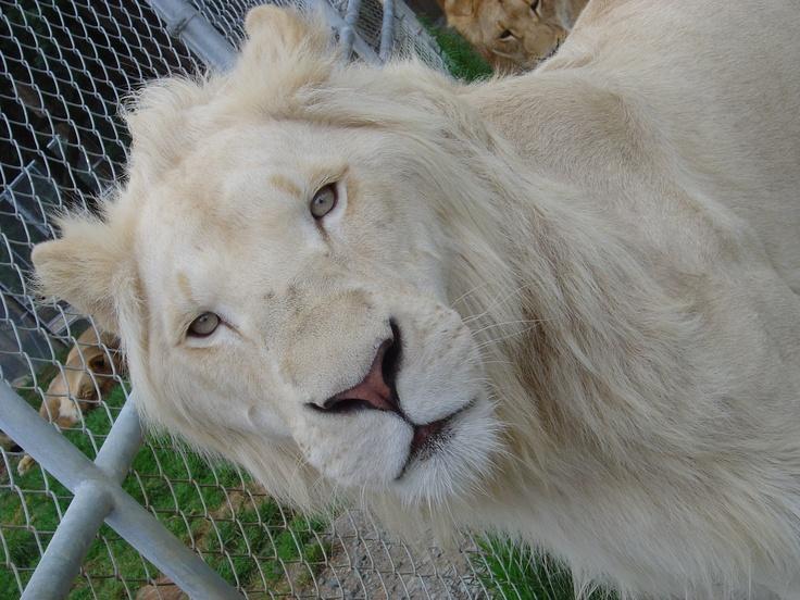 White Lion at Zion Wildlife Garden, NZ, 2008. Photo by Sophia Egan-Reid.