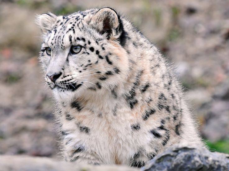 Beautiful Superieur Images Of Snow Leopards | Once Again, The Cute Snow Leopard  1400x1050 Wallpaper Download