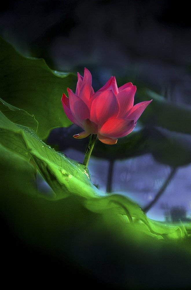 Lotus. Beautiful shot.